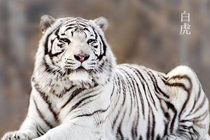 八字带白虎是什么意思,运程不吉须三思而行